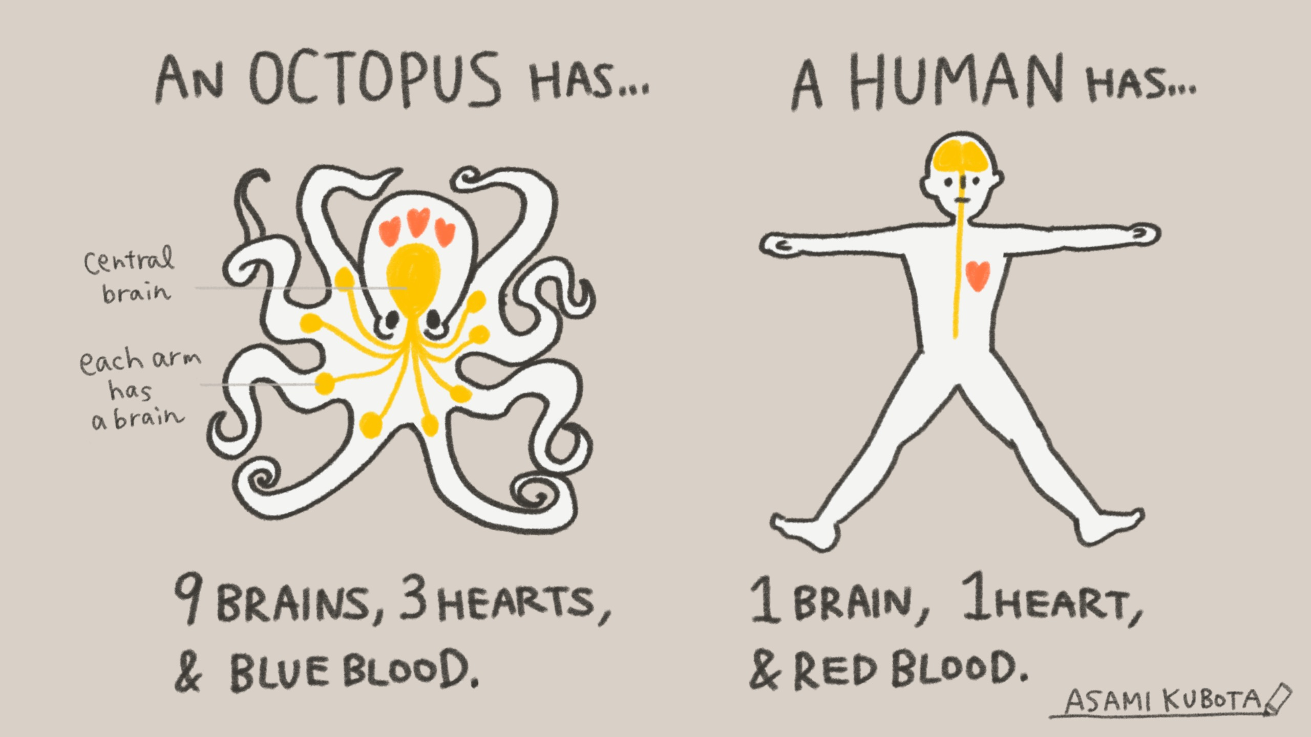 Octopus Anatomy vs Human Anatomy